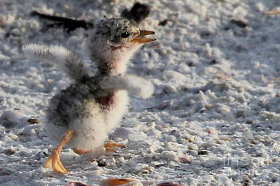 Photograph - Running Free - Least Tern by Meg Rousher