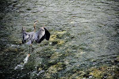Heron Photograph - Running On Water by Douglas Barnard