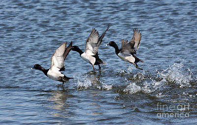 Lesser Scaup Photograph - Running On Water by Lori Tordsen