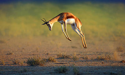 Motion Photograph - Running Springbok Jumping High by Johan Swanepoel