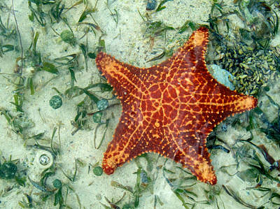Photograph - Running Starfish by Mary Lee Dereske