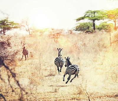 Running Zebras Art Print by Borchee