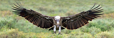 Griffon Wall Art - Photograph - Ruppells Griffon Vulture Gyps by Panoramic Images