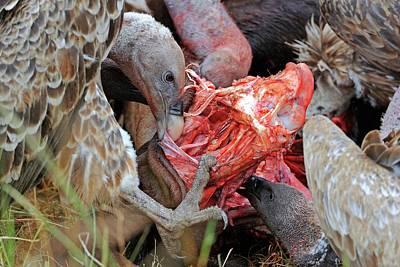 Ruppell's Vultures Feeding Art Print