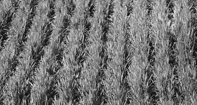 Cornfield Photograph - Rural America Black And White by Dan Sproul