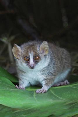 Russet Mouse Lemur (microcebus Rufus Art Print