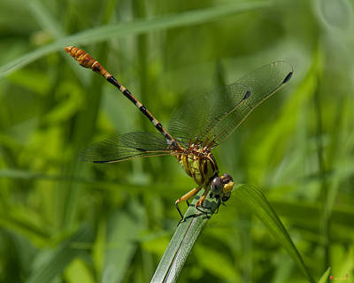 Photograph - Russet-tipped Clubtail Dragonfly Din246 by Gerry Gantt
