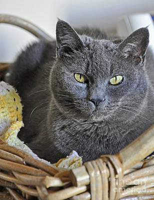 Photograph - Russian Blue Cat Sitting In Basket by Valerie Garner