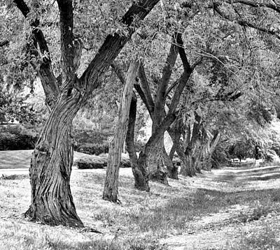 Photograph - Russian Olive Trees by David Pantuso