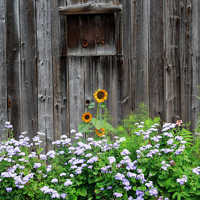 Rustic Barnwood Sunflower Art Print by Bill Wakeley