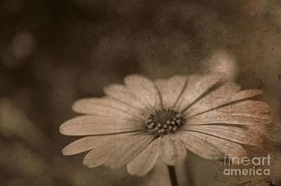 Rustic Daisy Art Print by Clare Bevan
