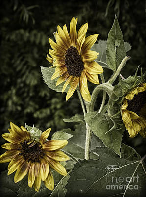 Photograph - Rustic Sunflower 3 by Cris Hayes