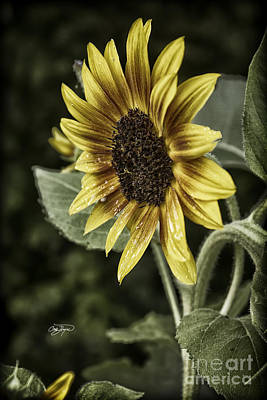 Photograph - Rustic Sunflower 4 by Cris Hayes