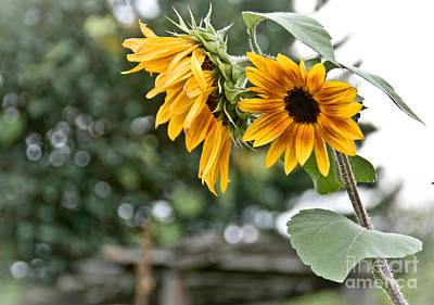 Photograph - Rustic Sunflowers by Cheryl Baxter