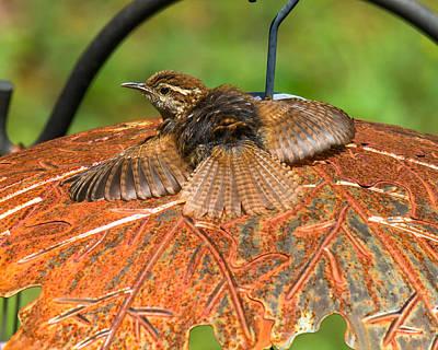 Photograph - Rusty The Wren by Robert L Jackson