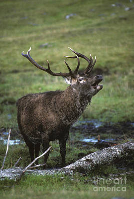 Photograph - Rutting Red Deer Stag by Phil Banks