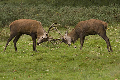 Photograph - Rutting Stags by Paul Scoullar