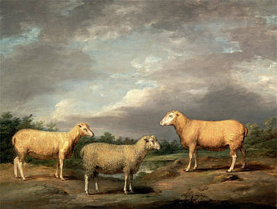 Ryelands Sheep, The Kings Ram, The Kings Ewe And Lord Art Print by Litz Collection