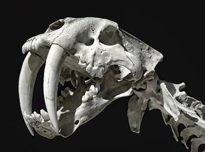 Saber-toothed Tiger Skull Original