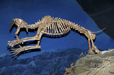Photograph - Saber-toothed Skeleton by Stephen J Krasemann