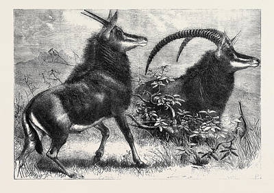 Antelope Drawing - Sable Antelope From Southern Africa Recently Added by English School
