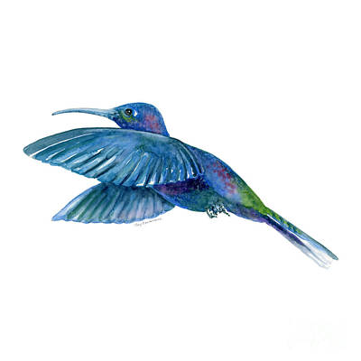 Bird Watercolor Painting - Sabrewing Hummingbird by Amy Kirkpatrick