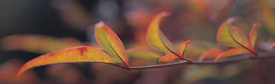 Bamboo Photograph - Sacred Bamboo- Autumn Leaves Nandina by Panoramic Images