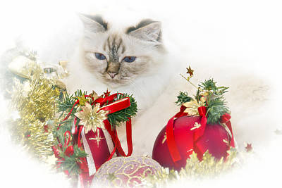 Sacred Cat Of Burma Christmas Time II Print by Melanie Viola
