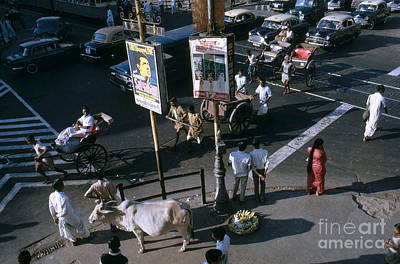 Sacred Cow In Kolkata Calcutta Print by Van D. Bucher