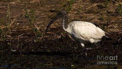 Photograph - Sacred Ibis 2 by Mareko Marciniak