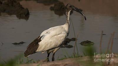 Photograph - Sacred Ibis 3 by Mareko Marciniak