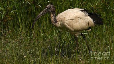 Photograph - Sacred Ibis by Mareko Marciniak