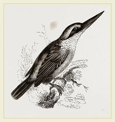 Kingfisher Drawing - Sacred Kingfisher by Litz Collection