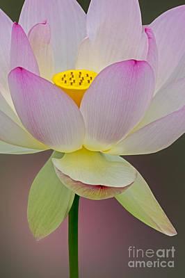 Photograph - Sacred Lotus Blossom by Susan Candelario