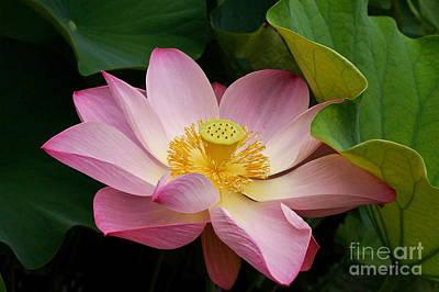 Photograph - Sacred Lotus by Byron Varvarigos