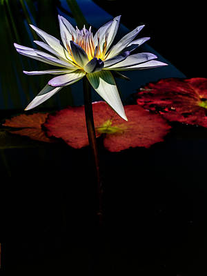 New Jersey Pine Barrens Photograph - Sacred Water Lilies by Louis Dallara