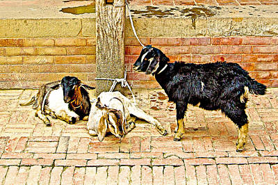 Sacrificial Art Photograph - Sacrificial Goats In A Hindu Temple In Patan Durbar Square In Lalitpur-nepal  by Ruth Hager
