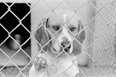 Beagle Photograph - Sad Beagle Dog Looking Through Chain by Vintage Images