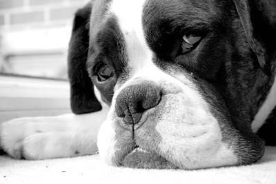 Sad Boxer Dog Art Print by Mike Taylor