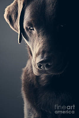 Sad Chocolate Labrador Art Print by Justin Paget