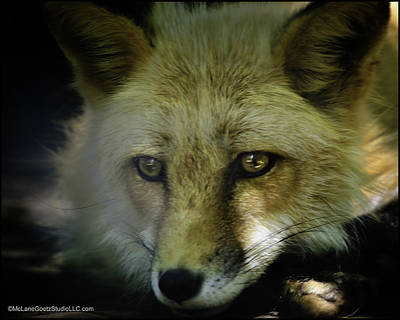 Fox Photograph - Sad Red Fox Missed His Prey by LeeAnn McLaneGoetz McLaneGoetzStudioLLCcom