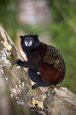Saddle-backed Tamarin Art Print by Science Photo Library