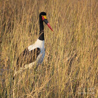 Stork Photograph - Saddle-billed Stork  Ephippiorhynchus Senegalensis by Liz Leyden