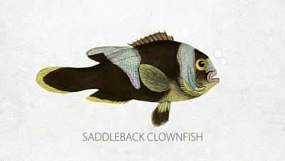 Fish Species Digital Art - Saddleback Clownfish by Aged Pixel