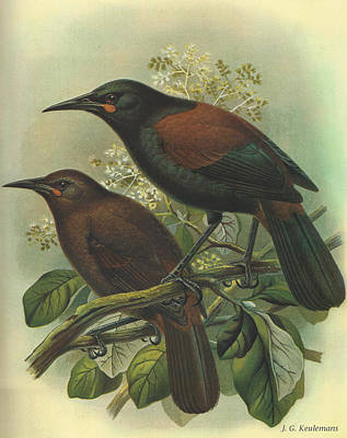 New Zealand Painting - Saddleback by Dreyer Wildlife Print Collections