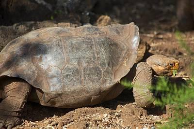 Darwin Research Center Photograph - Saddleback Tortoise by Allan Morrison