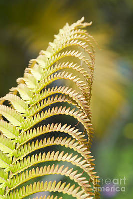 Photograph - Sadleria Cyatheoides Amau Fern Maui Hawaii by Sharon Mau