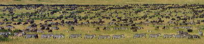 White Beard Photograph - Safari Animals Migration, Serengeti by Panoramic Images