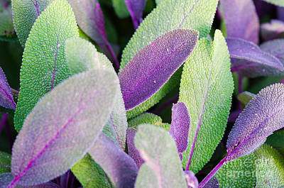 Photograph - Sage Abstract by Tamara Becker