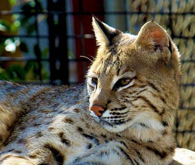 Male Bobcat Photograph - Sage by Derrick DeCorte